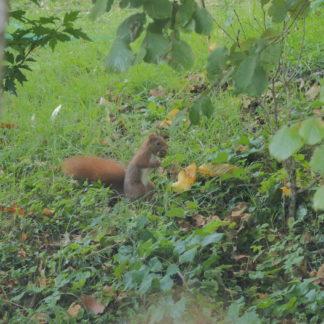 Vidéo d'un écureuil