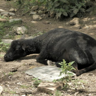 Brebis à la sieste