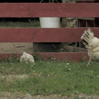 Poussins avec poule