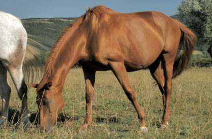 Cheval pur sang anglais broute