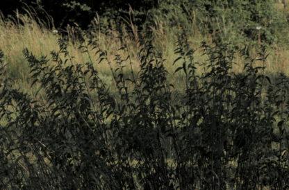 Herbes dans le vent premier plan
