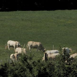 Vaches au téléobjectif
